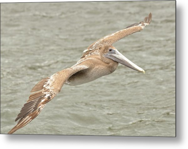 Pelican On The Water Metal Print