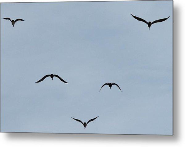 Pelicans In Flight Metal Print by Lorri Crossno