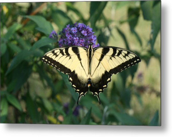 Perfectly Aligned Butterfly On Butterfly Bush Metal Print by Bonnie Boden