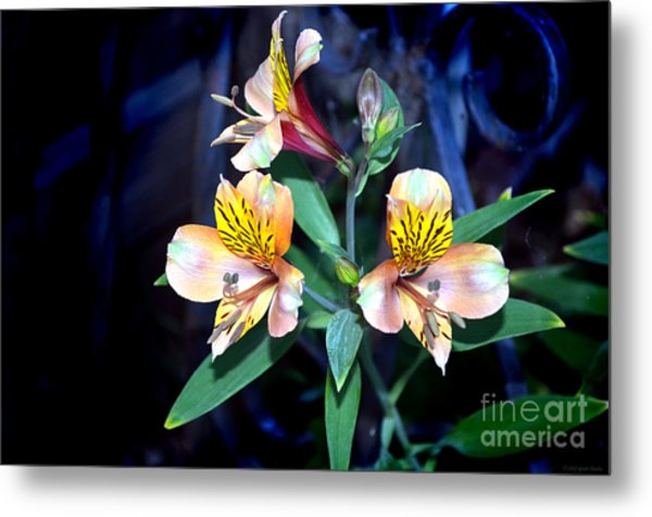 Peruvian Lily In My Garden Metal Print