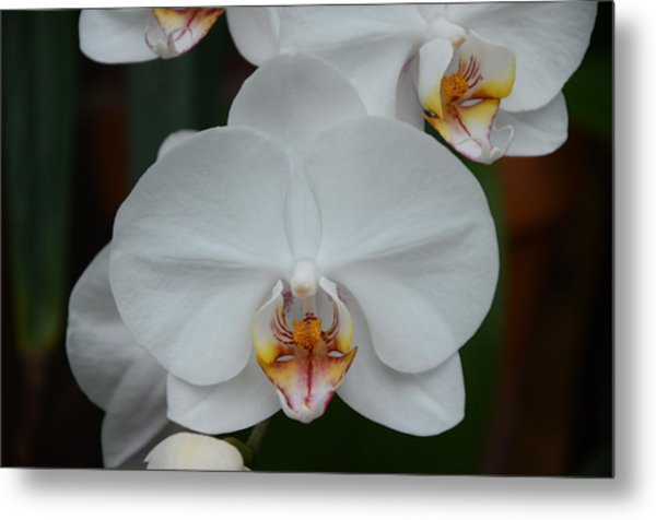 Phalaenopsis Orchid Metal Print by Michael Carrothers
