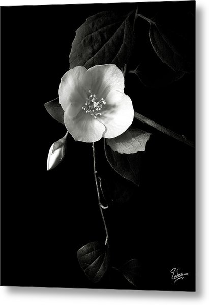 Philadelphus In Black And White Metal Print