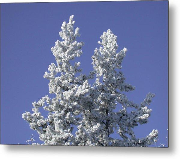 Pine Hoar Frost Metal Print