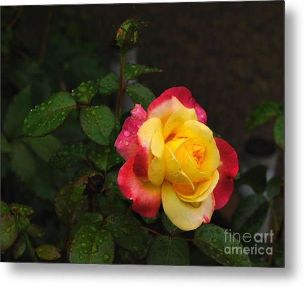 Pink And Yellow Rose 5 Metal Print
