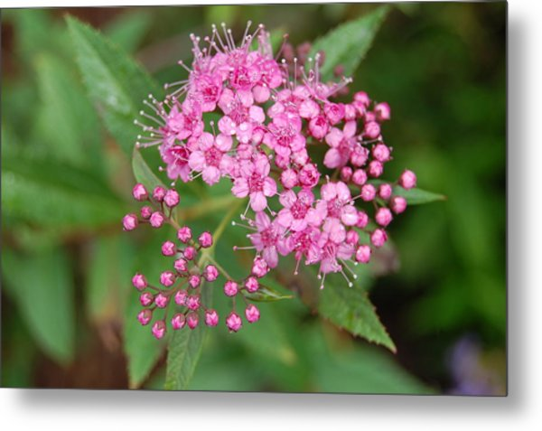 Pink Metal Print by Beverly Hammond
