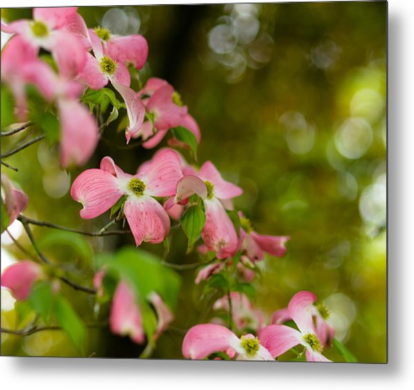 Pink Dogwood Blooms Metal Print