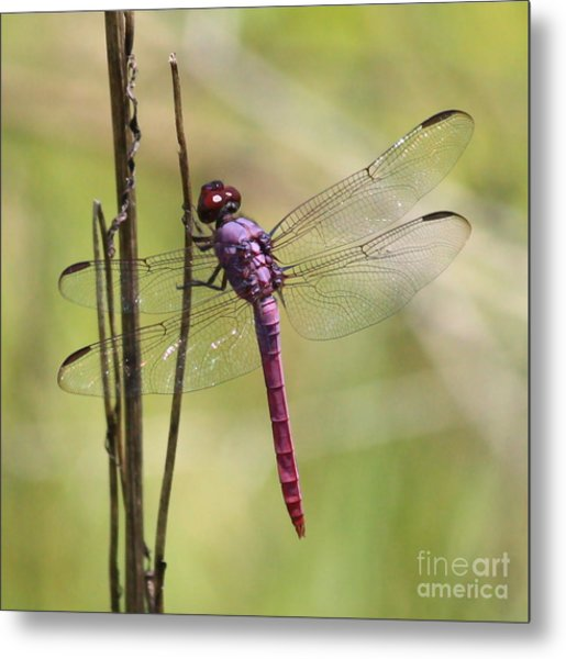 Pink Dragonfly With Sparkly Wings Metal Print