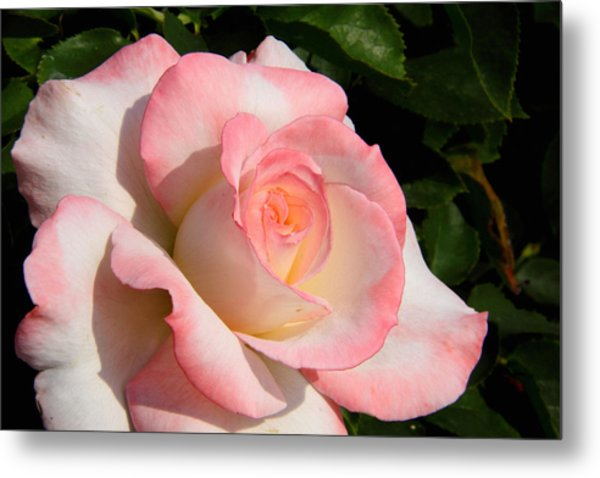Pink Edge Rose Metal Print