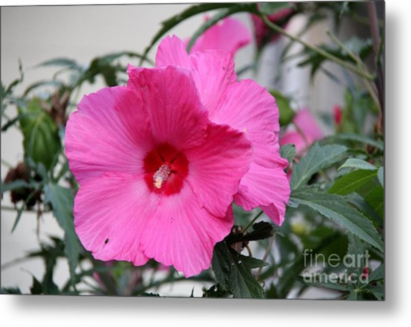 Pink Hardy Hibiscus Photograph By Yumi Johnson