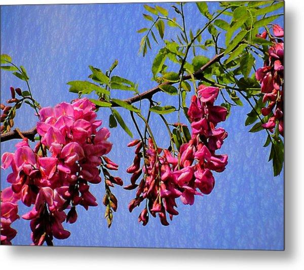 Pink Locust Blossoms Metal Print