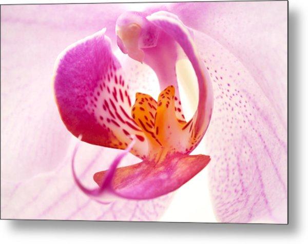 Pink Phalaenopsis Metal Print