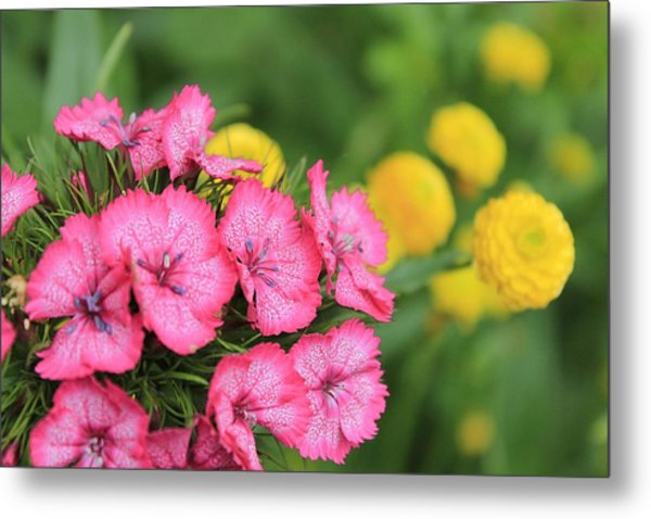 Pink Phlox And Yellow Buttons Metal Print