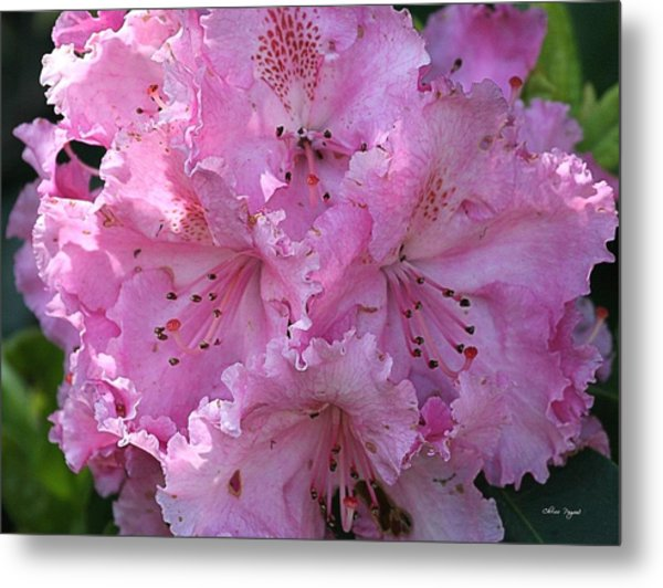 Pink Rhododendrons Metal Print
