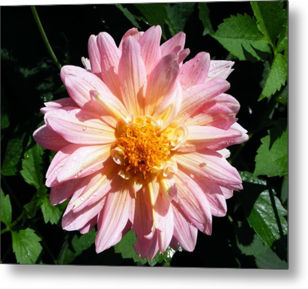 Pink Zinnia From Boldt Castle Metal Print