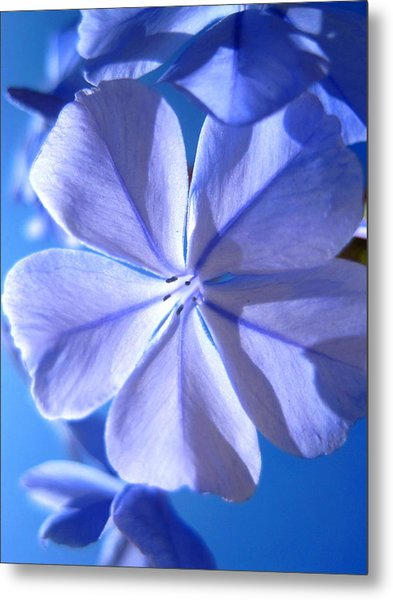 Plumbago Flowers Metal Print by Catherine Natalia  Roche