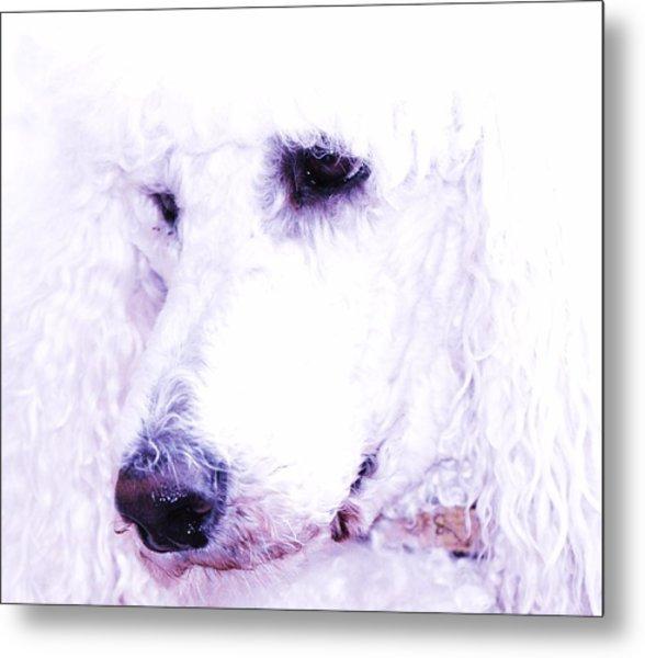 Poodle Face Metal Print