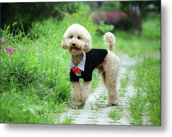 Poodle Wearing Suit Metal Print by Photography by Bobi