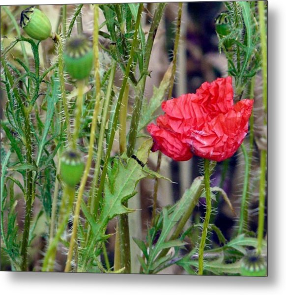 Popped Poppy Metal Print by Rdr Creative
