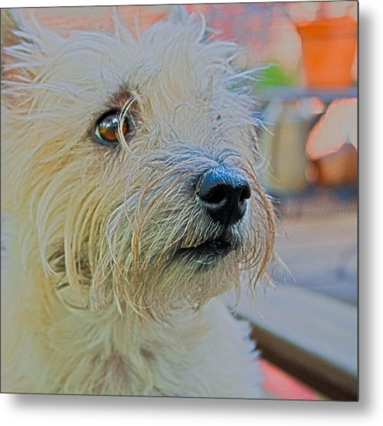 Portrait Of A Cairn Terrier Metal Print