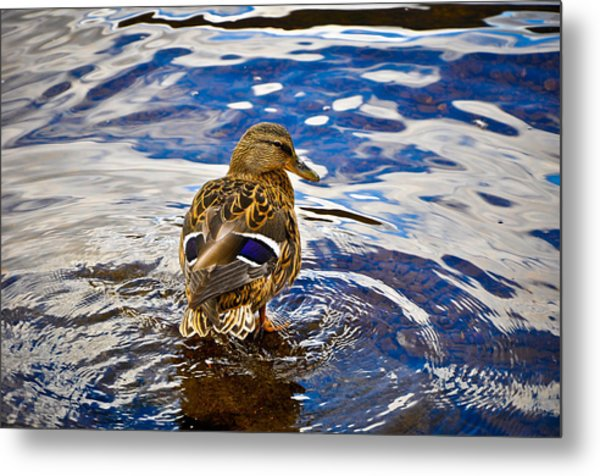Posing Duck Metal Print by Erica McLellan