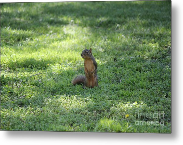 Posing Squirrel Metal Print