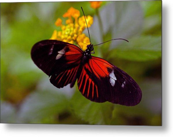 Postman Butterfly Metal Print by Cheryl Cencich