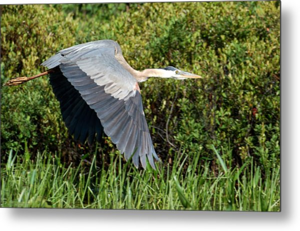 prehistoric looking Great Blue Heron Metal Print