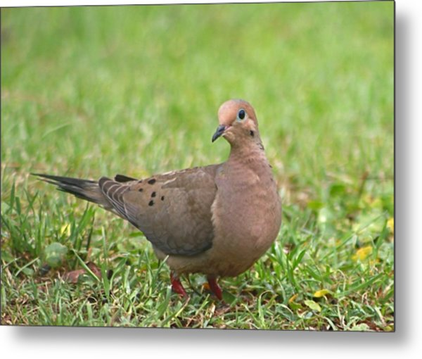 Pretty Mourning Dove Metal Print