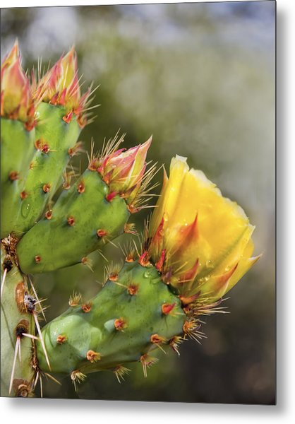Prickly Pear Flowers Metal Print