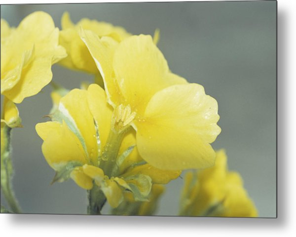 Primula Polyanthus 'hose In Hose' Metal Print by Archie Young