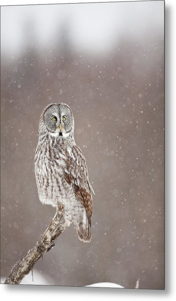 Profile Of A Great Gray Owl Metal Print by Tim Grams