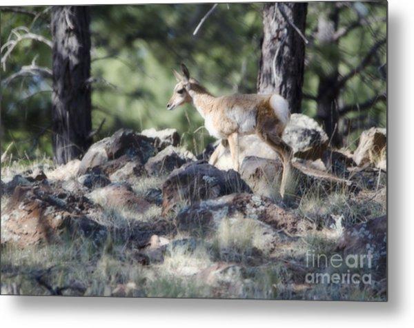 Pronghorn Antelope Fawn Metal Print