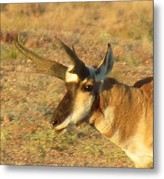 Pronghorn Catching Light Metal Print by Feva  Fotos