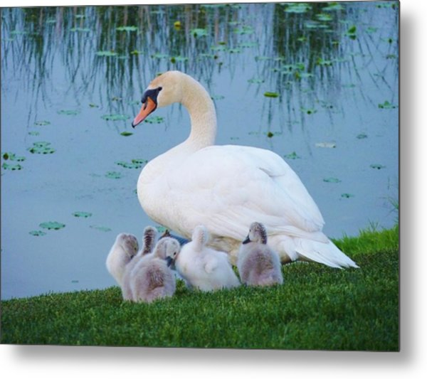 Proud Mother Swan Metal Print by Jeanette Oberholtzer
