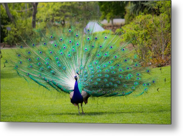 Proud Peacock Metal Print