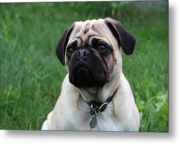 Pug Pup Metal Print by Kim French