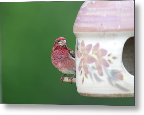 Purple Finch At Feeder Metal Print