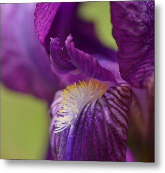Purple Iris 1 Metal Print