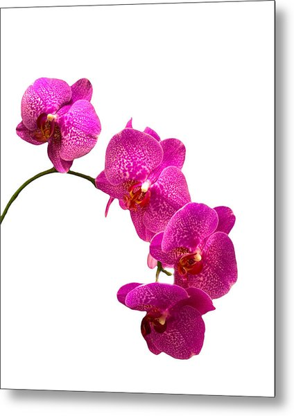 Purple Orchid On White Metal Print