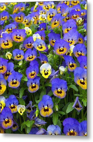 Purple Pansies 1 Metal Print