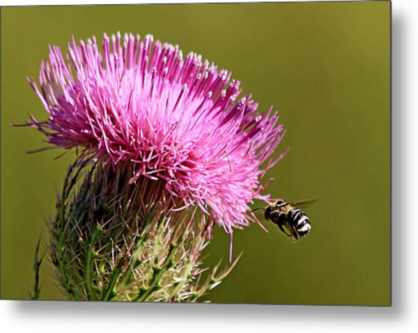 Purple Thistle Visited By A Bee Metal Print