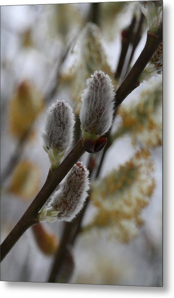 Pussy Willow Metal Print