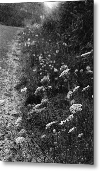 Queen Anne's Lace On Beachcrest Drive In Neskowin Oregon Metal Print by Christina Weber