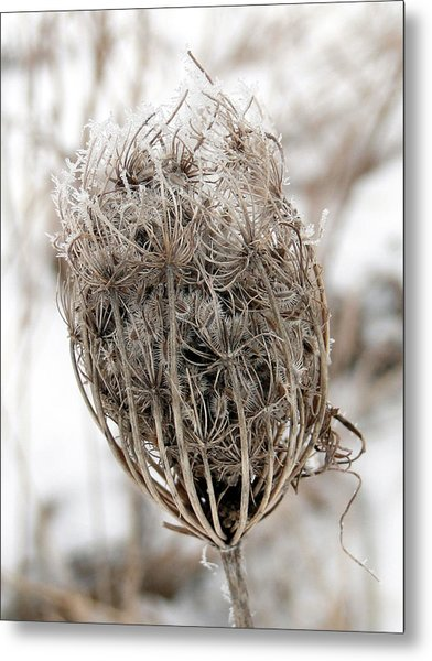 Queen Anne's Lace Seed Pods Metal Print