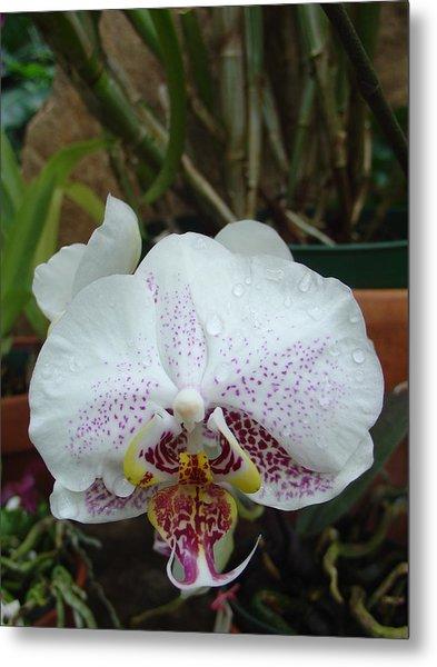 Rain Drops On Orchid Metal Print