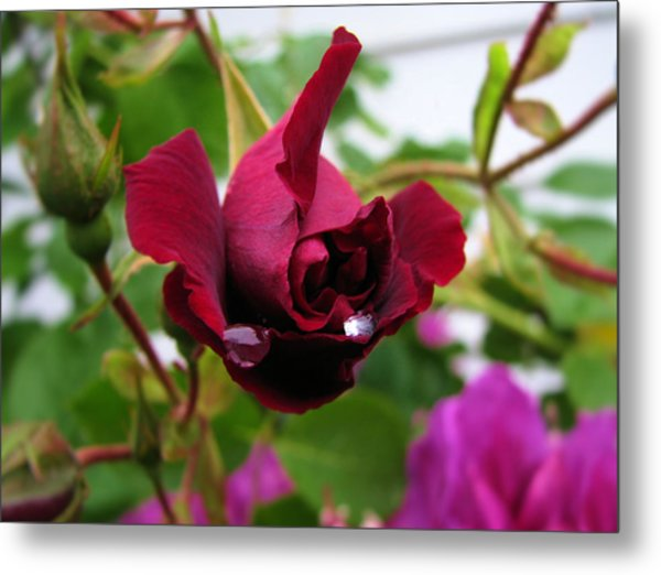 Raindrop Rose Metal Print