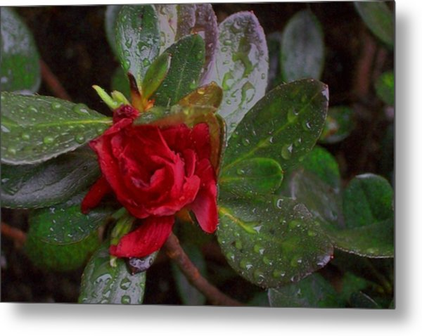 Rainy Day Rose Metal Print by Wide Awake Arts