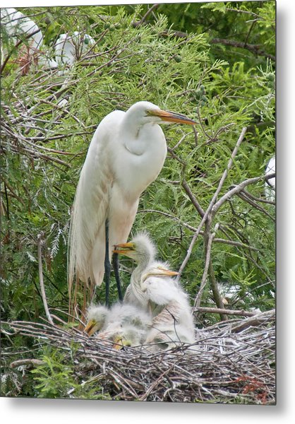 Raising Egrets Metal Print