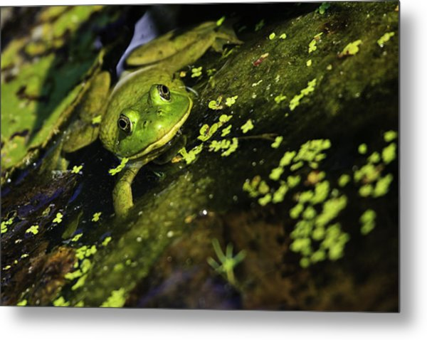 Rana Clamitans Or Green Frog Metal Print
