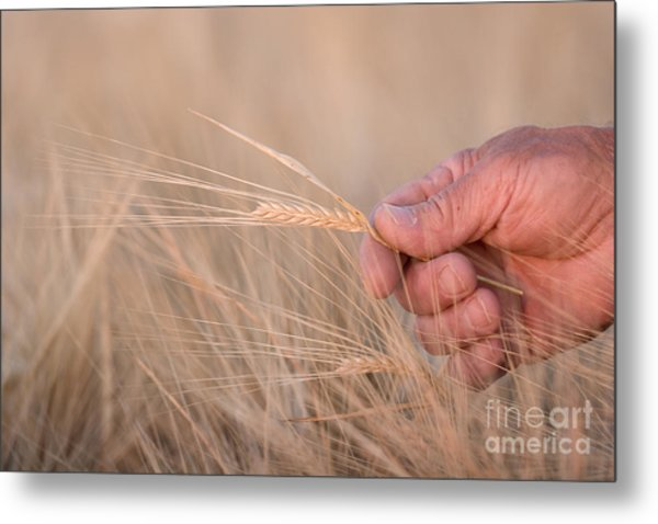 Ready To Harvest Metal Print